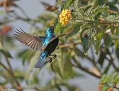 Palestinian Sunbird, I think this bird and the Israeli hummingbird are one in the same because he is getting nectar from a flower.
