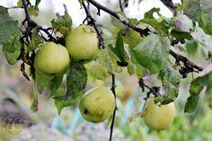 Oravankesäpesä | Omenapuu 'Antonovka'