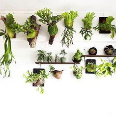 13 Cozy and Beautiful Green Balcony Ideas – indoorjungle Rare Plants, Exotic Plants, Plant Wall, Plant Decor, Indoor Garden, Indoor Plants, Vertikal Garden, Ferns Garden, Staghorn Fern