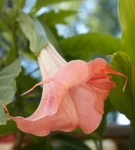Angel's Trumpet...An angel's trumpet in full bloom is nothing short of spectacular. A common patio tree, you can also move it inside for the winter to try to coax more blooms from it. Be warned, though: It's not the best plant for beginners and all parts are extremely poisonous.