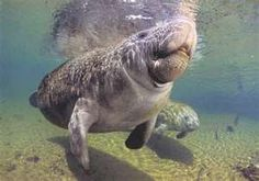 Can you spot a Manatee on your next trip to Fort Myers FL? Estero Beach, Ecuador, Sea Cow, All Gods Creatures, Sea Creatures, Pine Island, Fort Myers Beach, Chevrolet Malibu, Sanibel Island