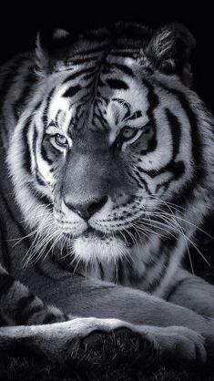Big Cats, Cool Cats, Beautiful Cats, Animals Beautiful, Tiger Spirit Animal, Wild Animal Wallpaper, Tiger World, Animals And Pets, Cute Animals