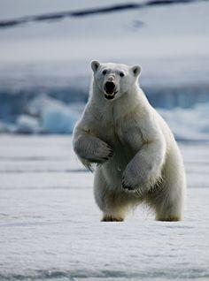Polar bear (by Ivan Starastin)