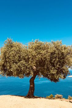 Olive tree, Thasos, Greece Roasted Chestnuts, Olive Tree, Thasos Greece, Greek, Earth, Sky, Landscapes, Wallpapers, Beautiful