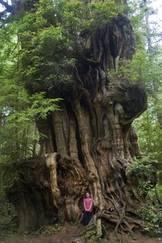 Western redcedar in Olympic National Park in Kalaloch-  Its height is exactly 37.50 m (year of measurement unknown.  The girth of the tree is 18.80 m measured at a height of 1.37 m (year of measurement unknown
