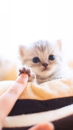 Cute Kittens For Sale Cheap Cute Cats And Kittens Doing Funny Things Cute Cats And Kittens, Kittens Cutest, Pet Cats, Fluffy Kittens, Fluffy Dogs, White Kittens, Feral Cats, Crazy Cat Lady, Crazy Cats