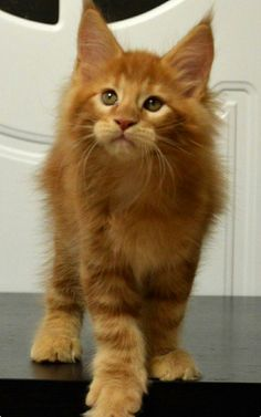 Gorgeous ginger cat