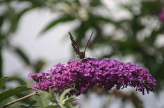 Syrenbuddleja fjärilsbuske