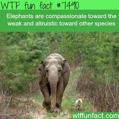 Elephants feel compassion towards the weak - WTF FUN FACTS (WTF Facts: funny & weird facts) Animals And Pets, Baby Animals, Funny Animals, Cute Animals, Wild Animals, Elephant Facts, Elephant Love, Funny Elephant, Funny Weird Facts