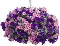 Supertunia® Royal Velvet - Petunia hybrid
