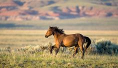 Wyoming has the second-largest wild horse population in the nation