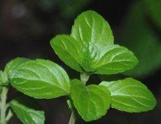 Já conhece o poejo?   A planta ajuda a aliviar a asma e tem cheiro semelhante à hortelã.