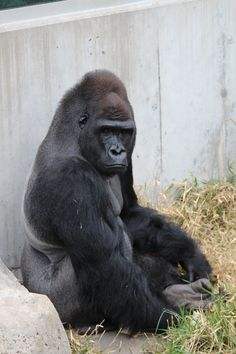 We call this the pouting face - Western lowland Gorilla