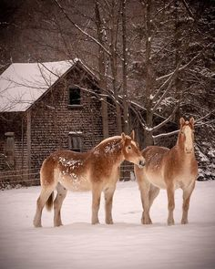 Winter's calm, nature's beauty, and a pair of beautiful Belgians seen through the talented lens of ? All The Pretty Horses, Beautiful Horses, Animals Beautiful, Big Horses, Horse Love, Horse Pictures, Animal Pictures, Belgian Horse, Animals And Pets