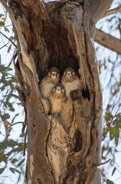 A waiting trio - three young Nankeen Kestrel chicks were patiently waiting for Mum to bring in the morning breakfast by Guy Hausfeld