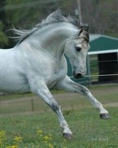 Andalusian stallion. Beautiful being. The blonde in the pic.