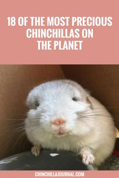 18 Of The Most Precious Chinchillas On The Planet