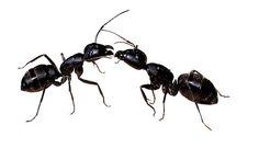 5 trucs pour se débarrasser des fourmis!