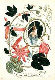 Passiflora incarnata. Proyecto de digitalización de los dibujos de la Real Expedición Botánica del Nuevo Reino de Granada (1783-1816), dirigida por José Celestino Mutis: www.rjb.csic.es/icones/mutis. Real Jardín Botánico-CSIC.