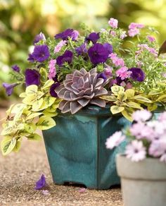 Splashes of color add interest to seating areas ~ This bright and fresh combo exudes charm. Echeveria 'Perle VonNurnberg' pops in its surrounding of the lime-green Plectranthus 'Limelight'. And purple petunias and pink blossoms crown the arrangement with a touch of sweetness.