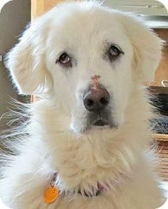 3/1/14: Beacon, NY - Great Pyrenees. Meet Minnie in NJ - new! a Dog for Adoption.