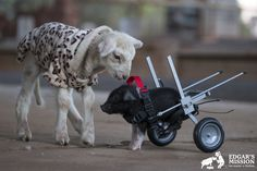 How A Plucky Piglet Named Leon Trotsky Got A Second Chance At Life With A Set Of Wheels