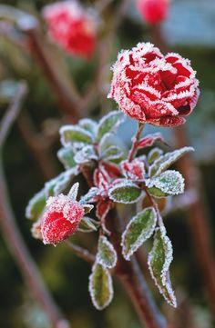 The last rose of the season. Beautiful frozen rose.