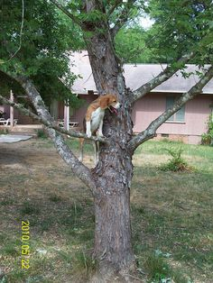 Beagle Sweetheart Climbs a Tree Chasing a Squirrel | Flickr - Photo Sharing! This is hilarious.
