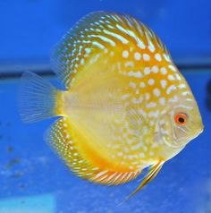 YELLOW DRAGON DISCUS                                                                                                                                                                                 More
