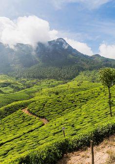 Munnar Tea Plantation, Kerala, India
