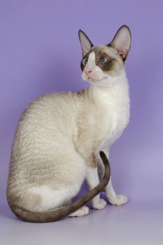 Intelligence, jumping skills, and lengthy toes are what makes Cornish Rex cat amazing. This intelligent breed of cat has the skills to open doors, hang on different objects and can even rummage on your closets. I Love Cats, Crazy Cats, Cool Cats, Oriental Shorthair Cats, Hypoallergenic Cats, Asian Leopard Cat, Gatos Cool, Cornish Rex Cat, Cat Allergies