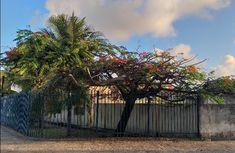 Avenida das Alagoas Delonix Regia, Plants, Plant, Planets