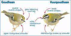Nationale Tuinvogeltelling 2016 | Goudhaan en Vuurgoudhaan (Goldcrest and Firecrest)