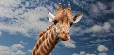 Giraffe Animal Funny Facial Expressio