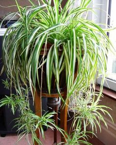 House Plants 361554676334192777 - chlorophytum plante qui aime l'ombre Source by cmmnteconomiser Outdoor Plants, Garden Plants, Patio Plants, Potted Plants, Sun Plants, Tomato Plants, Garden Soil, Garden Table, Outdoor Landscaping