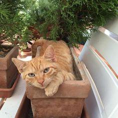 [Photo by lorenzo_magnolfi on Instagram] Saetta #gatto #giardino #vaso #piante #saetta #rosso #red #cat #garden #bestanimal #bestphoto #bestpic #picoftheday #tuscany #toscana #italy #italia #animal #animali #bello #beautiful #compagnia #catsofinstagram #catlover #catoftheday #cat #gattorosso