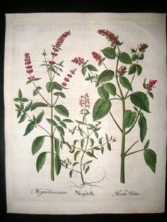 Besler 1613 LG Folio Hand Colored Botanical Print. Calamint