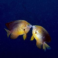 Loving this damselfish pair from jcnavarrophoto on Instagram.