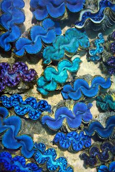 Blue Lipped Clams - Small Giant Clams~Tridacna Maxima is a species of bivalve found throughout the Indo-Pacific.The attractive colours of the small giant clam are the result of pigment cells, which have a crystalline structure inside. These are thought to protect the clam from the effects of intense sunlight, or bundle light to enhance photosynthesis, the energy-producing process carried out by the tiny algae living within.