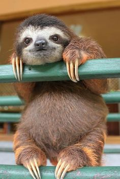 Just a sloth hanging out. Hi!