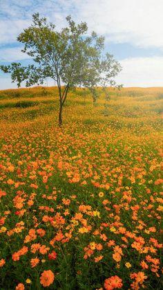 Les fleurs orange du champs