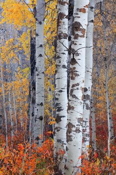 *🇺🇸 Autumn birches (Leavenworth, Washington) by Aaron Reed 🍂 Watercolor Landscape, Landscape Art, Landscape Paintings, Birch Tree Art, Birch Trees Painting, Birch Forest, Autumn Scenery, Aspen Trees, Tree Photography