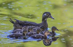 Wood Duck Family by Karen King on 500px