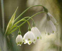 bulb white bells with green dots - Leucojum (Summer Snowflake).  I found one growing in my backyard. Dad must have planted some years ago.  Now that the land is cleared, one has survived to remind me how much I love the Summer Snowflake!  I took the little white bells to Mother.