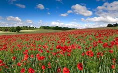 poppy picture hd by Silver Brook (2017-03-22)