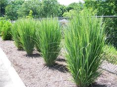 Panicum virgatum 'Northwind'. Sun. 6' tall, very upright. Drought tolerant.