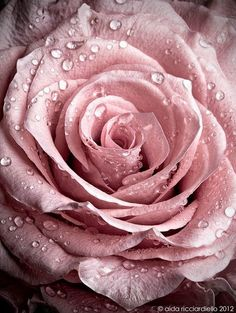 #Roses: Vintage Pink Rose - finelaceandpearls: A rose by any other name would smell as sweet / Pink Rose on @We Heart It.com - whrt.it/13onnYt http://ift.tt/2IgrnBm