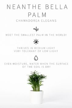 Low Light Indoor Plant- Neanthe Bella Palm Care Info The BEST low light indoor plants and how to care for each of them! If you want unique and easy to care for low light plants, this is the ultimate list! Indoor Plants Low Light, Best Indoor Plants, Indoor House Plants, Indoor Palms, Full Sun Plants, Inside Plants, Cool Plants, Diy Garden, Garden Plants
