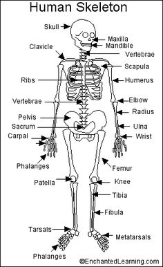 Human Skeleton Printout - EnchantedLearning.com. Nancy - You'd be able to use the skeleton in your class for this!