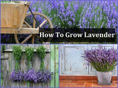 How To Grow Your Own Lavender & how to use it Lavender is a magical plant. it has vast healing properties to soothe the body mind and soul and It looks stunning and smells like heaven. There's nothing better than growing your own lavender. Not only does it look beautiful and smell like heaven, there are also so many things you can make and do with it.